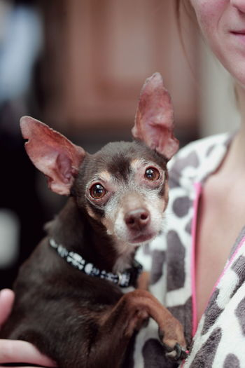 Midsection of woman holding chihuahua