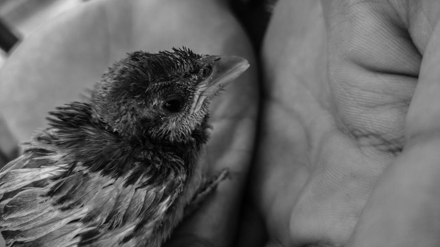Close-up of hands holding bird
