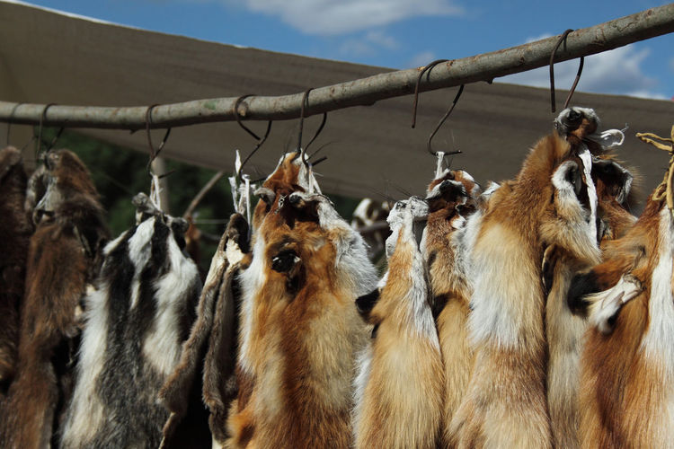 Low angle view of fox furs hanging on wooden pole