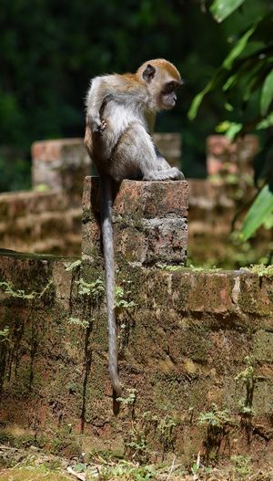 Monkey Macaque Ipoh Malaysia Primate Sitting One Animal Outdoors No People Nature Animal Wildlife Animals In The Wild Day Animal Themes Tail Ape Brick Wall Bricks Shade Cute Full Length Young Visit Ipoh