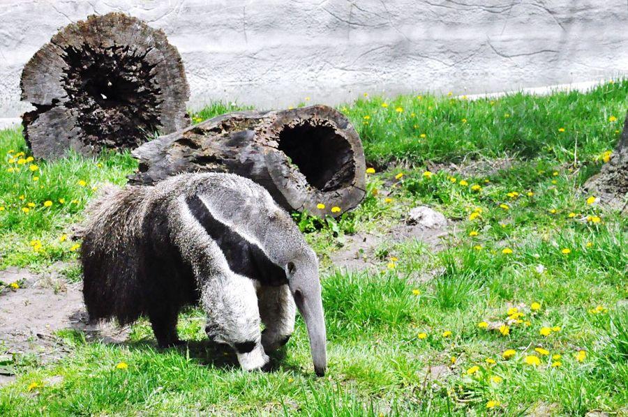 Animal Themes Giant Anteater Detroit Zoo No People Outdoors Nikon D90