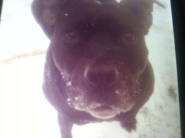 DOGIE🐶 Dogs Of EyeEm EyeEmNewHere Dog Snow Staff Staffordshire Bull Terrier Staffy In Snow Staffy Smile Staffylove