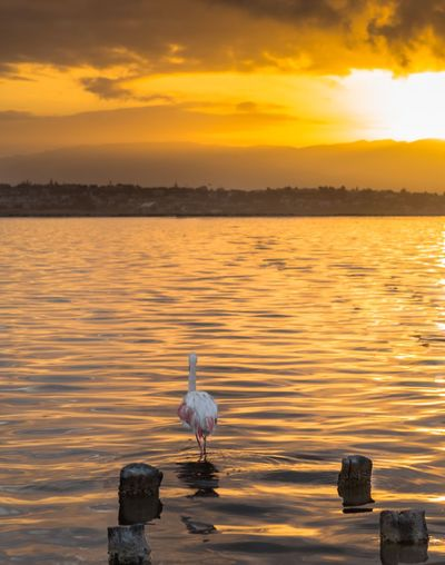 Sunset Water Bird Sky Vertebrate Animal Orange Color Animal Themes Animals In The Wild Animal Wildlife Beauty In Nature Sea Cloud - Sky Nature Reflection Scenics - Nature One Animal No People Outdoors