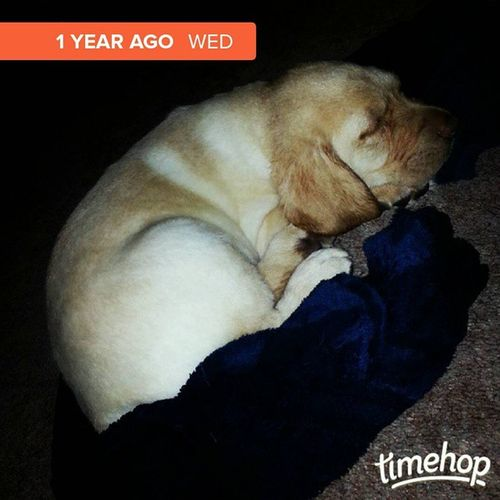 TBT  1 year ago we brought this handsome fellow home. Tompetty Yellowlab