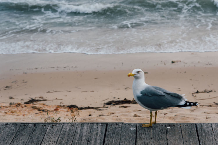 Seagull perching on wooden post at beach