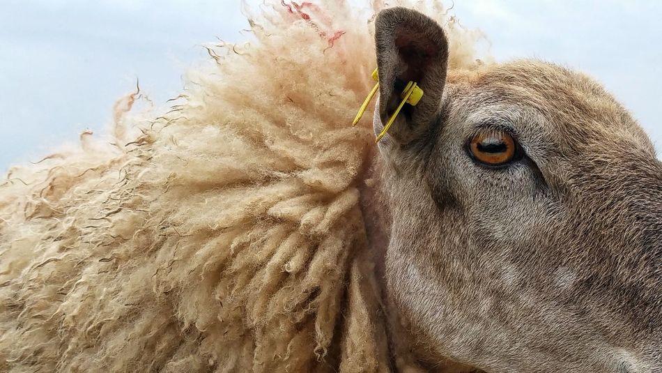 Pierced Sheep Head Sheep Farm Animal Country Life Piercings