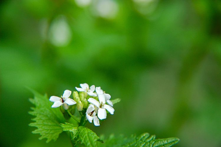 Edible Wild Plant Botany Alliaria Petiolata Garlic Mustard Flower Flowering Plant Plant Beauty In Nature Freshness Close-up Fragility Vulnerability  Growth Green Color White Color Focus On Foreground Springtime Petal Flower Head No People Blossom Leaf Nature