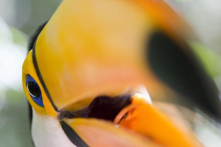 Close-up of a toco toucan - foz do iguacu - brazil