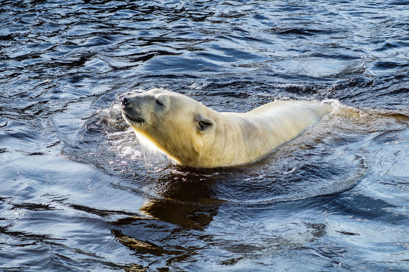 polar bear One Animal Animal Themes Animal Mammal Animal Wildlife Animals In The Wild Water Vertebrate Sea Underwater Aquatic Mammal Polar Bear Nature No People Motion Day Swimming Seal - Animal Outdoors Animal Head  Marine Polar Bear