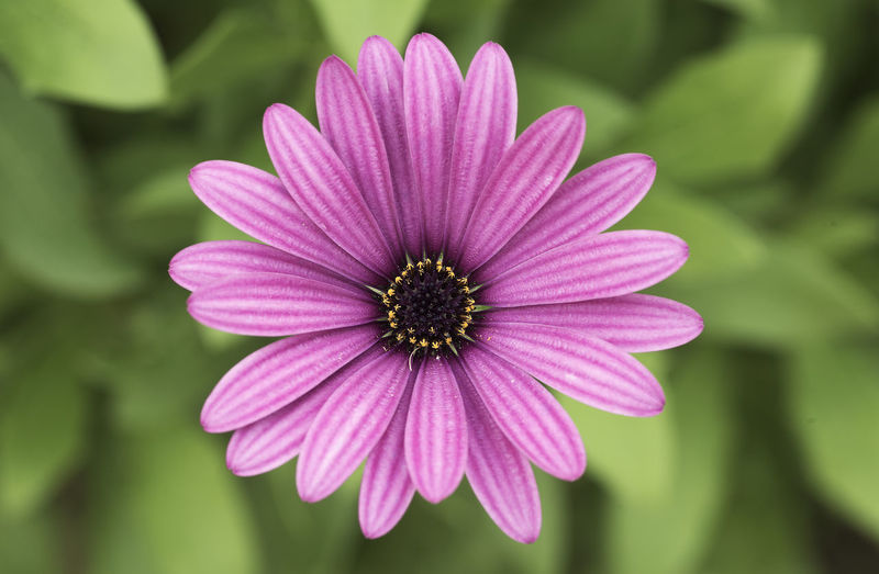 African daisy or shrubby daisy. Original from South Africa Scientific name: Osteospermum fruticosum. Flowering Plant Flower Fragility Plant Vulnerability  Inflorescence Petal Flower Head Freshness Beauty In Nature Growth Close-up Focus On Foreground Pink Color Osteospermum Pollen Nature No People Day Purple Daisy Flower African Daisy Osteospermum Fruticosum Flowers Macro Photography