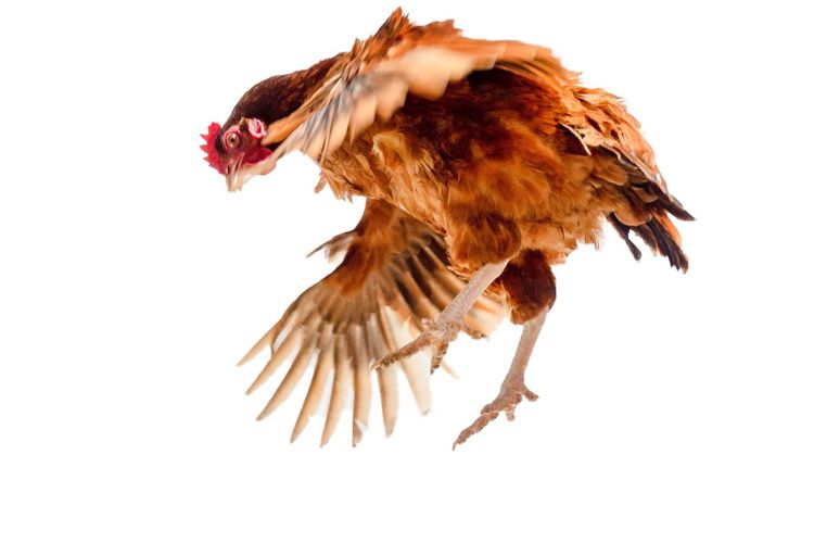 Chicken is flying on a white background. Isolated Brown Chick Hen Bird Animal Animal Themes White Background Chicken - Bird Flying Vertebrate One Animal Chicken Studio Shot Cut Out Animals In The Wild Spread Wings Livestock Animal Wildlife