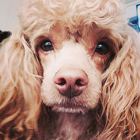 Frenchy Dog Domestic Animals Animal Eye Pets Frenchpoodle Close-up Apricot First Eyeem Photo
