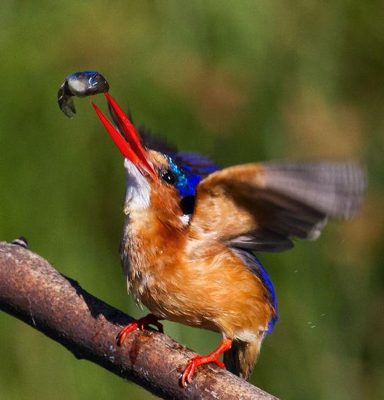 Animal Themes Animals In The Wild Beak Beauty In Nature Bird Kingfisher Malachite Kingfisher Nature One Animal Perching Wildlife