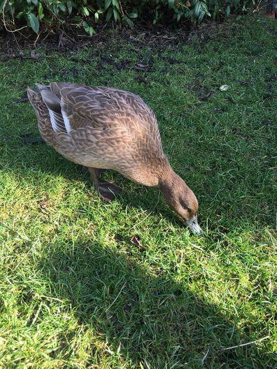Pet Duck Animal Themes One Animal Grass Bird Field Outdoors Mammal