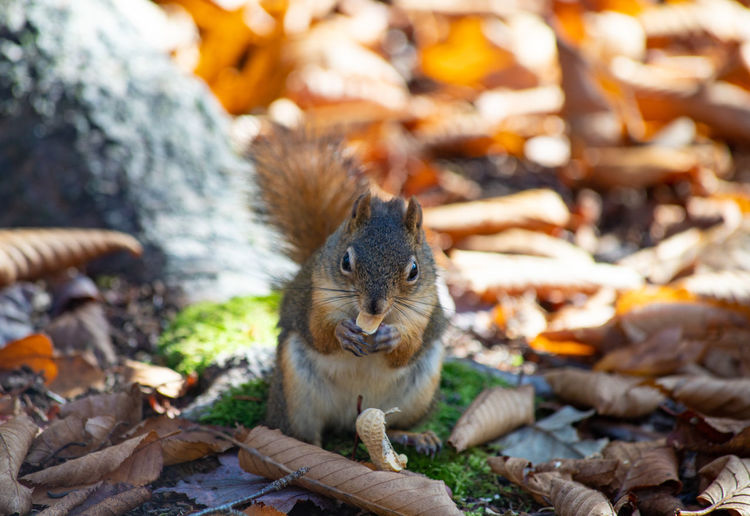 Portrait of squirrel on leaves