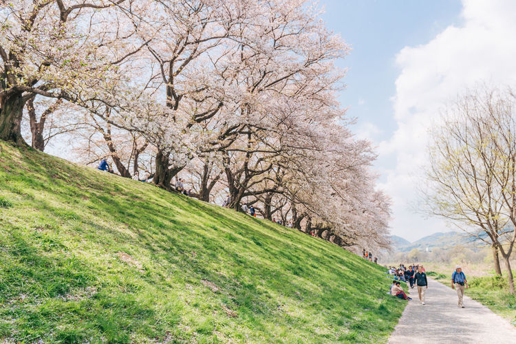 Kyoto, JAPAN - April 3, 2018: People enjoy seeing beautiful blooming cherry blossom at Yawatashi. Plant Tree Nature Beauty In Nature Day Sky Growth Walking Grass Footpath Real People Springtime Incidental People Group Of People Lifestyles Women Blossom Men Flower Leisure Activity Outdoors Cherry Blossom Cherry Tree Sakura Sakura Blossom Hanami