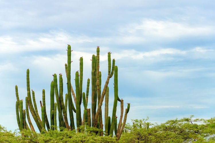 Tall cactus rising over low trees in La Guajira, Colombia America Arid Colombia Countryside Desert Desolate Drought Dry Environment Ground Guajira Heat Hot Isolated Land Landscape Natural Nature Outdoors Scene Scenery South Sunny View Wilderness