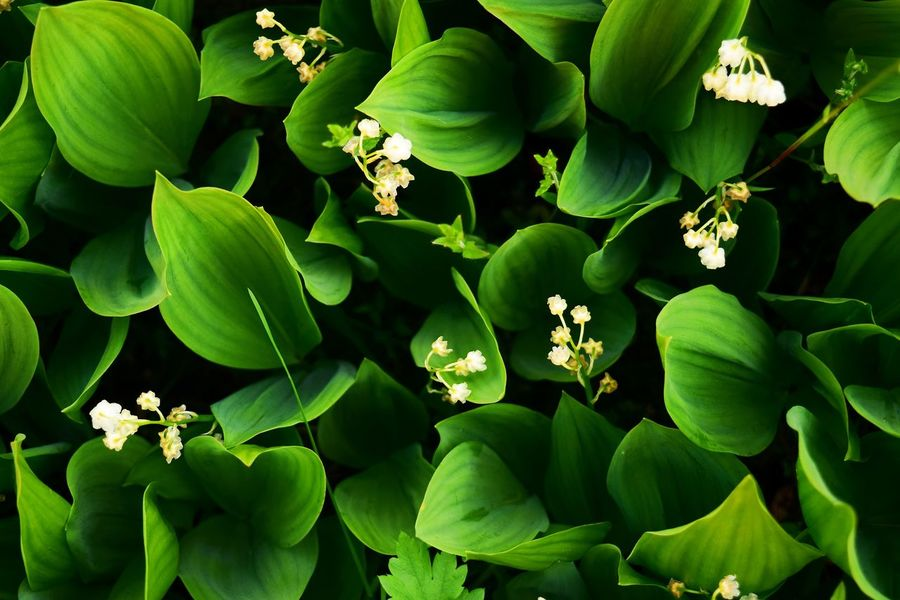 Backgrounds Beauty In Nature Close-up Day Flower Head Green Green Color Growth Leaf Nature No People Spring Spring Flowers Summer White