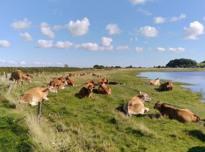 Cows Relaxing On Grassy Field Against Sky