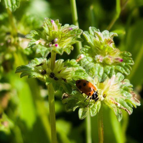 Weeds Weeds Are Beautiful Too Ladybug Close Up Powershot G9 Oakdalecalifornia Photoshopexpress Canon Powershot G9 Oakdale California Colorful Canon Flowers