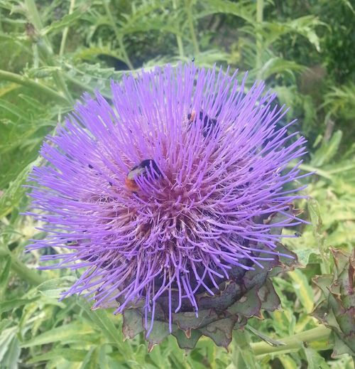The Artichokes are loved by the bees Flowers Our Allotment Bury St Edmunds Hanging Out