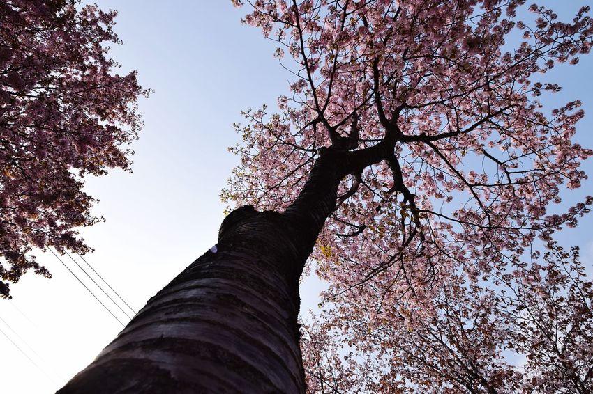 CAMERA : NIKON D5300 LENS : 10-24mm F/3.5-4.5 Di II VC HLD #tamron #tamuronlens #タムロン #タムロンレンズ #広角レンズ #tamron1024 #1024mm #nikond5300 #nikon倶楽部 #instagramers #iphoneocreation Nikon Sapporo Tamron Sakura NIKON D5300 EyeEmNewHere Tamron10_24 Low Angle View Sky Tree Plant Nature Branch Architecture