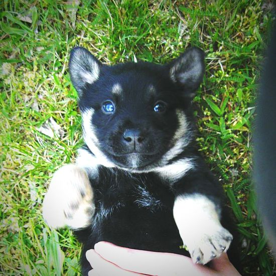 Sweet Cute Puppy Puppys Looking At Camera Animal Themes Dog German Shepherd Nature
