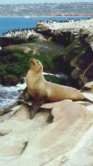 Seal Beach, California Seal San Diego California California Coast Ocean Feel The Journey La Jolla Cove Pet Portraits California Dreamin The Great Outdoors - 2018 EyeEm Awards