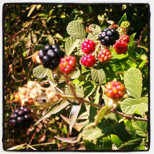 Blackberry Antalyaturkey Gebiz :)