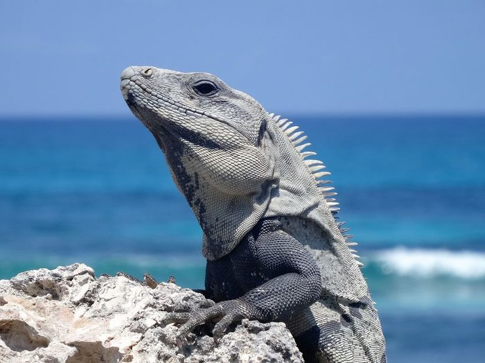 Close-up of marine iguana on rock against sea