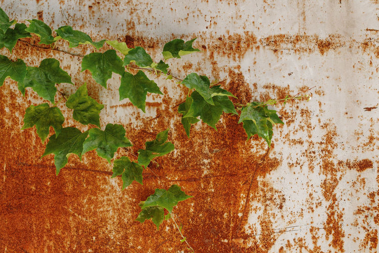 Spring Springtime Rusty Metal Rusty Rusty Things Ivy Ivy Wall Ivy Covered Ivy Leaves France Green Color Green Leaves Leaves🌿 Leaf Plant Part Wall - Building Feature Plant No People Weathered Growth Architecture Built Structure Day Nature Close-up Old Creeper Plant Outdoors Full Frame Textured  Wall Pattern Pattern, Texture, Shape And Form Backgrounds Background Springtime Decadence