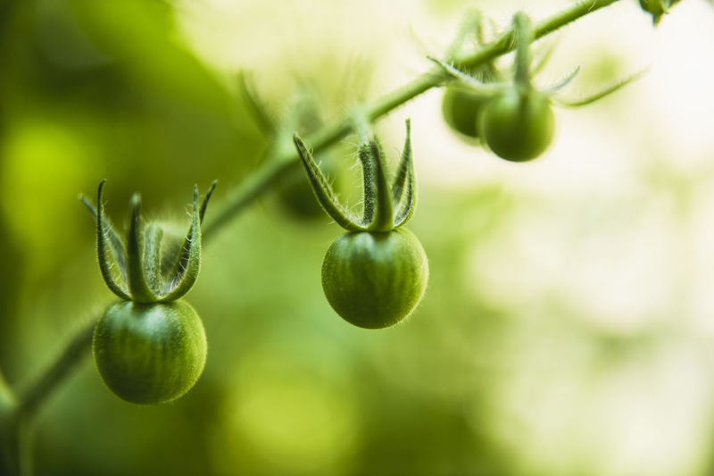 Close-up of fruit growing on plant