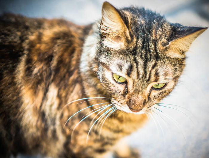 Angrycat Animal Eye Animals Cat Close-up Domestic Cat Eyes Feline Focus On Foreground Malta Pets Portrait Selective Focus Stoic Street Whisker