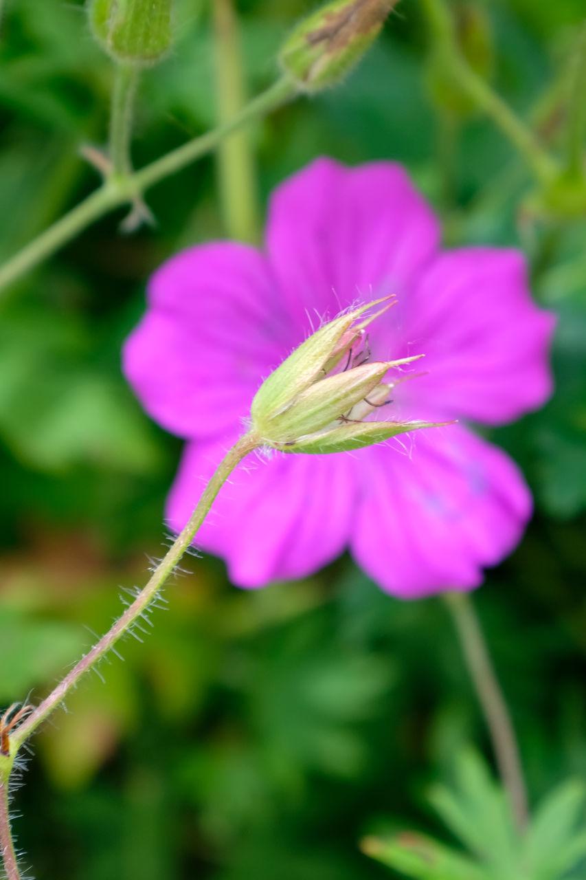 CLOSE-UP OF FRESH PURPLE FLOWER