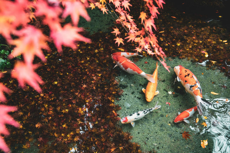 View of koi fish in a japanese garden