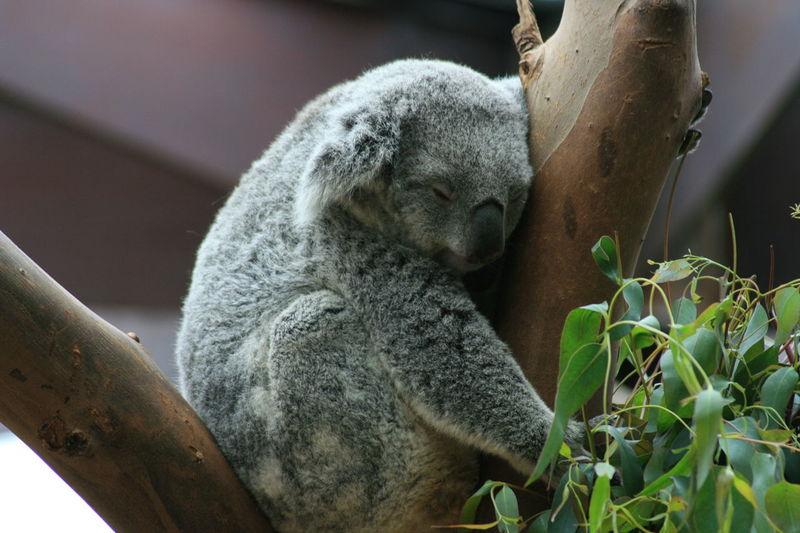 Koala Koala Bear Koala 🐨 Koala In Tree Koala Sleeping Koala Koala On A Tree Koala Face Koalaa:) Nature Outdoors Animal Themes In A Tree In A Tree 🌲 Marsupial Marsupials Eucalyptus Tree Eucalyptus