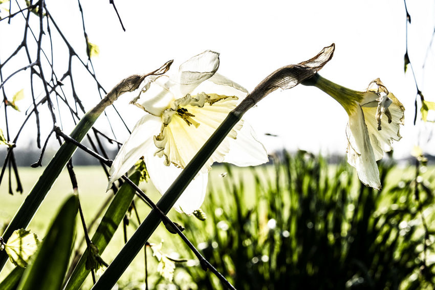daffodils Backlighting Beauty In Nature Blooming Close-up Daffodils Day Flower Flower Head Fragility Freshness Growth Nature No People Outdoors Petal Plant Sky Wild Wilted Wilting Flowers