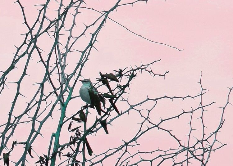 Pastel Power Birds Bird Bird Photography Birdwatching Birds Of EyeEm  Bird Watching Birds_n_branches Birdfreaks Thorns Thorny Pennsylvania Tree Branch Birding Beauty In Nature Outdoors No People Nature Perching Bare Tree Springton Manor Farm Chester County