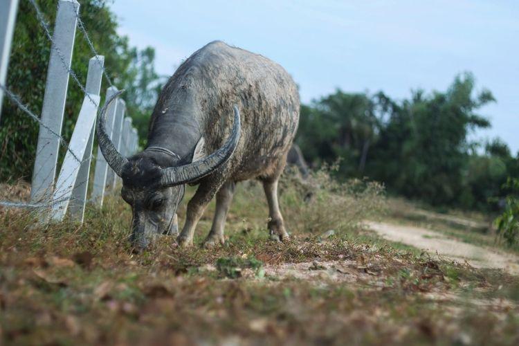 Ox grazing on field against sky