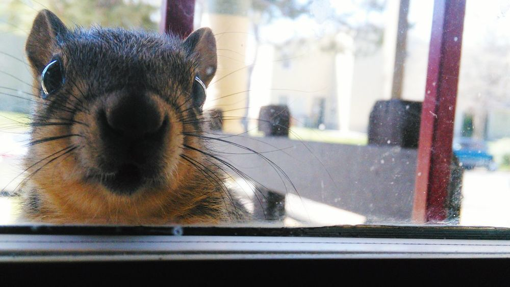 Windowsill visitor My Window Windowsill Window Sill Visitor Looking Through Window Squirrel Close-up Window Animal Themes Environmental Portraits Nature On Your Doorstep Nature Photography Animal Nature Adapted To The City Environment Squirrel Closeup Nature Close-up Nature Calling Nature Knocking On Front Door Nose Whiskers Colorado Photography Great Outdoors City Life