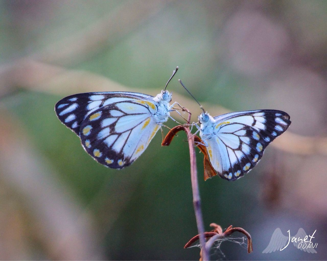 insect, animals in the wild, animal themes, one animal, butterfly - insect, animal wing, butterfly, animal wildlife, focus on foreground, no people, nature, close-up, spread wings, day, outdoors, plant, fragility, perching, flower, beauty in nature, full length, pollination, freshness, flower head