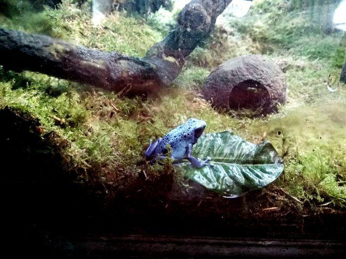 Grenouille Bleu Grenouille Bleu Batracien Batracien Bleu Animal Blue Frog Blue Frog Sea Life Water Butterfly - Insect Insect Close-up Grass Amphibian