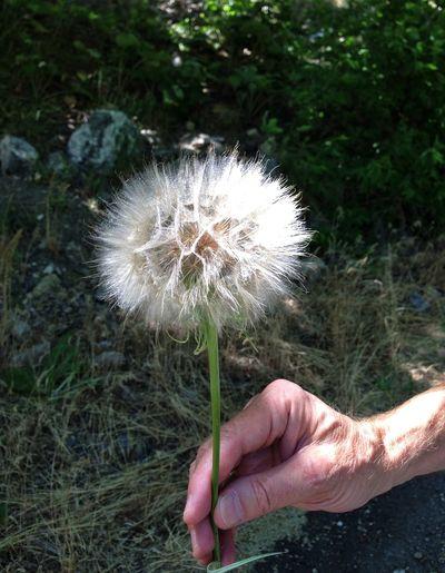 Dandelion Flower Flower Head Fragility Nature Outdoors Plant Softness Stem Sunlit
