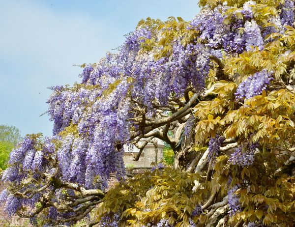 A window through the Wisteria Glimpse Of Building Springtime Blossoms Wisteria Sinensis Trelissick Gardens Cornish Gardens Plant Growth Flower Flowering Plant Beauty In Nature Vulnerability  Fragility Blossom No People Day Wisteria Outdoors Botany Springtime Nature Low Angle View Sky Purple Freshness