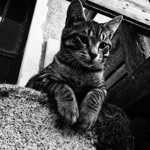 Pet Domestic Cat Feline Cat One Animal Cats