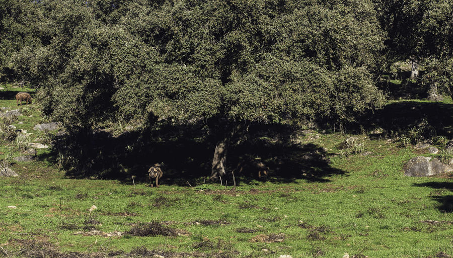 Pigs under the oak Grass Animal Animal Themes Beauty In Nature Day Domestic Animals Field Grass Green Color Growth Mammal Nature No People Oak Oak Tree Outdoors Pig Pig Eating Pig Grazing Plant Shadows Tranquility Tree Tree Shadow