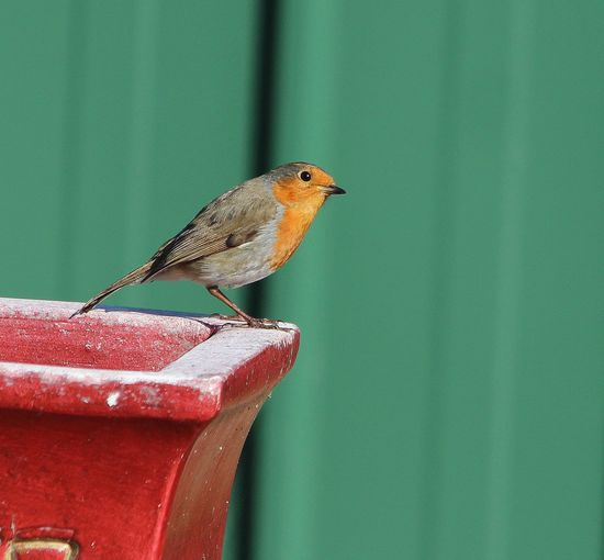 Side View Of Robin Perching On Pot