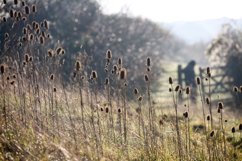 A spot of Teaseling... Teasels Plant Growth Beauty In Nature Tranquility Nature Land No People Field Day Focus On Foreground Tranquil Scene Outdoors Environment Sky Sunlight Non-urban Scene Scenics - Nature Flower Grass Plant Stem