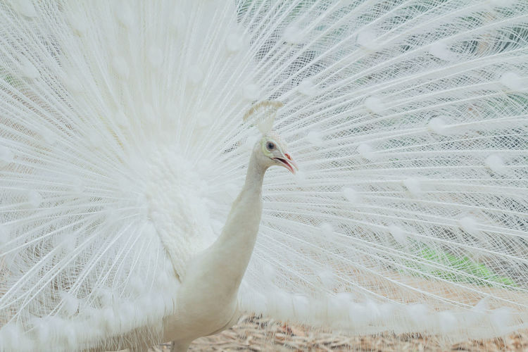 peacock White Peacock Bird Animal Wildlife Beauty In Nature Animal Themes Animal Animals In The Wild