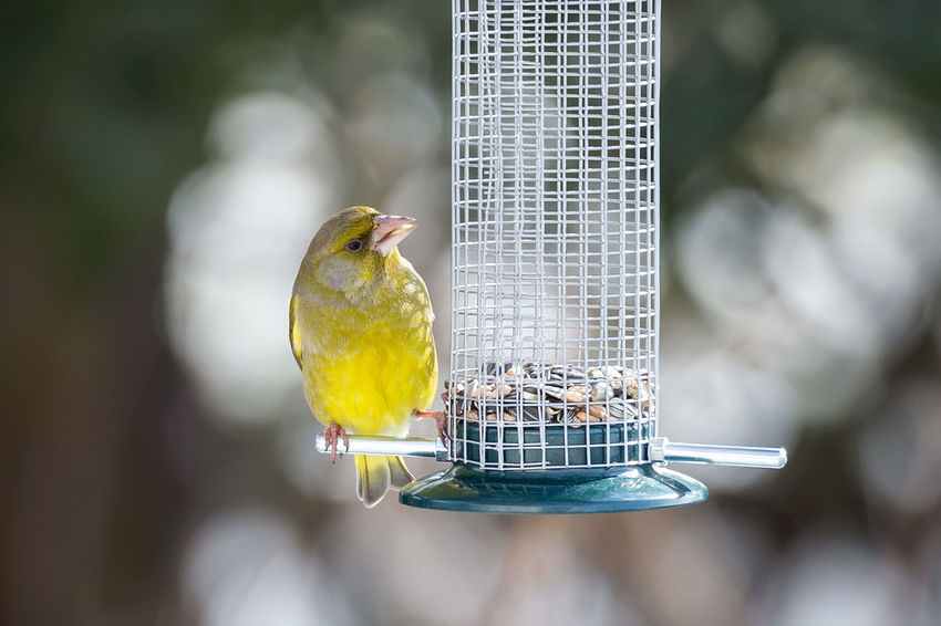 European greenfinch European Greenfinch Grünfink Animal Themes Animal Wildlife Animals In The Wild Bird Bird Feeder Chloris Chloris Focus On Foreground Food Nature No People One Animal Outdoors